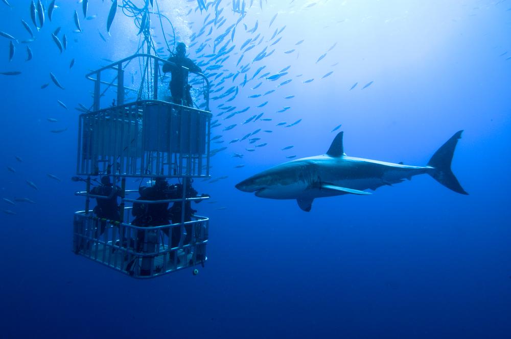 κολύμπι με καρχαρίες