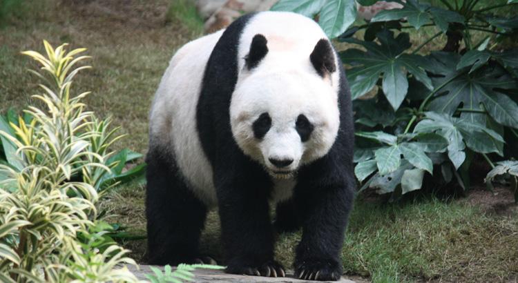 Panda: Το αγαπημένο ζώο των Κινέζων