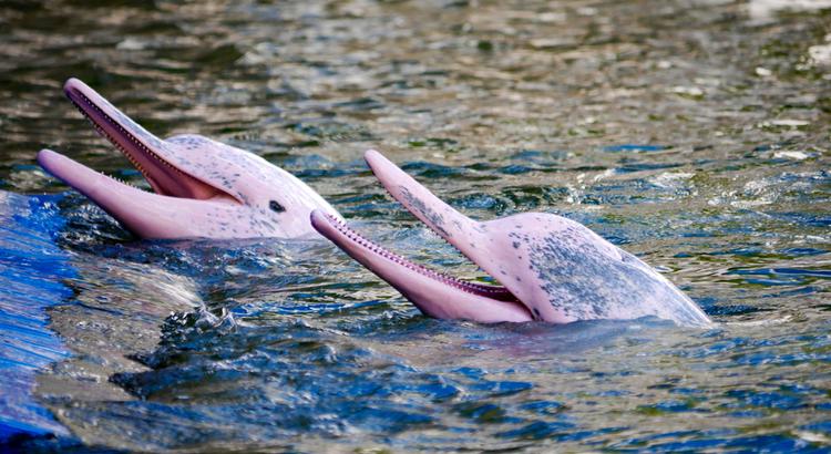 Αναπάντεχα μέρη στο Περού, ροζ δελφίνια