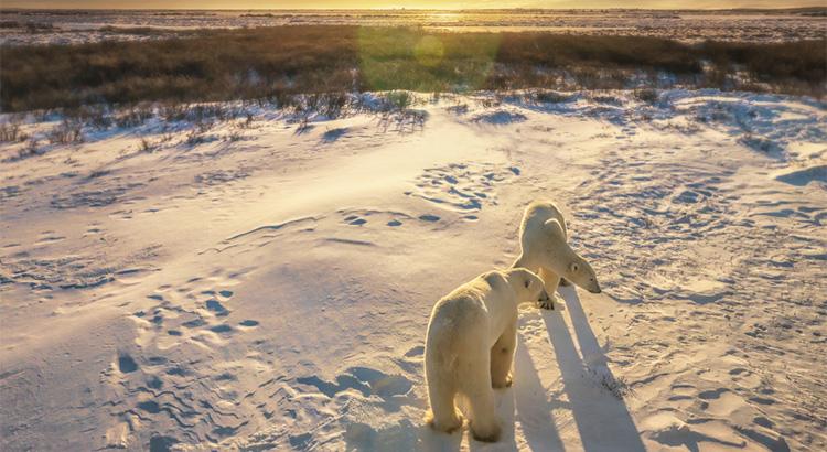Πολικές αρκούδες στον Καναδά