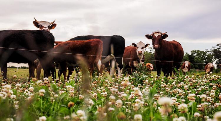 Οι αγελάδες ξεπερνούν τους ανθρώπους, ένα από τα στοιχεία της Ουρουγουάης